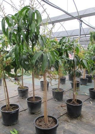 Vente par correspondance des plants d 39 agrumes plantes d for Vente plantes par correspondance